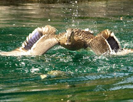 Duck Attack 2