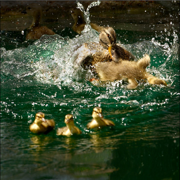 Duck Attack